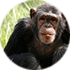Chimps as smart as humans