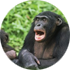 Chimps  ability to memorise events